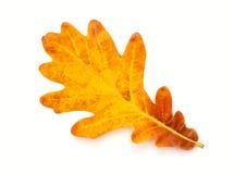 秋天五颜六色的叶子橡木 免版税图库摄影