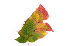 秋天五颜六色的叶子 梯度 孤立 库存图片