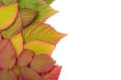 秋天五颜六色的叶子 梯度 孤立 免版税图库摄影