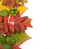 秋天五颜六色的叶子 梯度 孤立 免版税库存照片