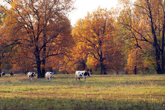秋天五颜六色的树丛横向橡木 库存照片