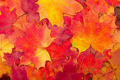 从秋天五颜六色的槭树叶子的自然本底 库存照片