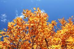 秋天五颜六色的结构树 免版税库存图片