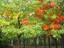 秋天五颜六色的结构树 免版税库存照片