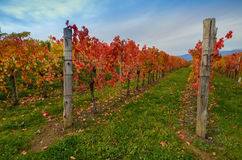 秋天五颜六色的葡萄园 图库摄影