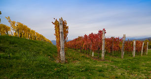 秋天五颜六色的葡萄园 免版税库存图片