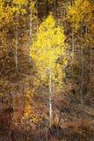 秋天亚斯本树秋天上色金黄叶子和白色树干地图 免版税库存图片