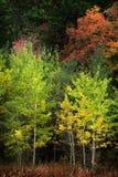 秋天亚斯本树秋天上色金黄叶子和白色树干地图 库存图片