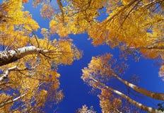 秋天亚斯本结构树 图库摄影