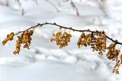秋天会议对冬天 金合欢叶子没有时间飞行到冬天开始  免版税库存图片
