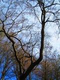 秋天光秃的树 免版税库存图片