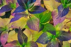秋天八仙花属植物的叶子 库存图片