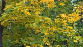 秋天公园树  股票视频