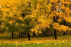 秋天公园槭树 免版税库存图片