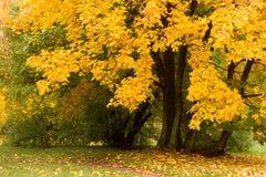 秋天公园槭树 库存图片