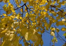 秋天公园,晴朗的榆木在明亮的蓝天背景离开  免版税库存照片
