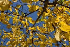 秋天公园,晴朗的榆木在明亮的蓝天背景离开  免版税图库摄影