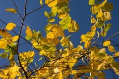 秋天公园,晴朗的榆木在明亮的蓝天背景离开  库存图片
