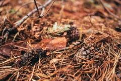 秋天具球果森林干燥杉木锥体 库存照片