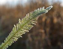 秋天冰冷的草,结霜的草,冷淡的叶子,冷淡的早晨,第一霜在秋天,在领域的霜,寒冷的图象, 免版税库存图片