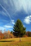 秋天冷杉横向结构树 库存照片