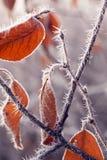 秋天分支与树冰和蜘蛛网在r的光芒 免版税库存照片