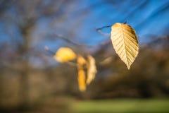 秋天前片黄色叶子  免版税库存照片
