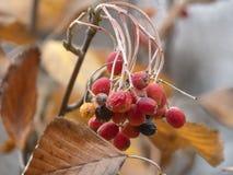 秋天剪影用红色莓果 免版税库存图片