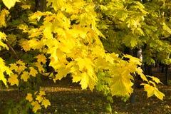 秋天加拿大秋天留下槭树 10月 库存图片
