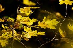 秋天加拿大秋天留下槭树 库存照片