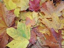 秋天加拿大秋天留下槭树 免版税库存图片