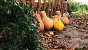 秋天南瓜在庭院里 在农村场面的南瓜 新鲜,成熟,生长在领域的南瓜 股票录像