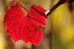 秋天博若莱红葡萄酒上色葡萄树 免版税库存照片
