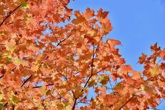 秋天反对清楚的蓝天的槭树叶子分支  免版税图库摄影