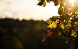 秋天反对落日的橡木叶子 免版税库存图片