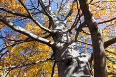 秋天反对蓝天的山毛榉树 免版税库存图片