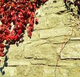 秋天古老墙壁长满与野生藤 图库摄影