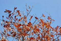 秋天可用的例证结构树向量 在分行的明亮的色的橡木叶子 免版税库存图片