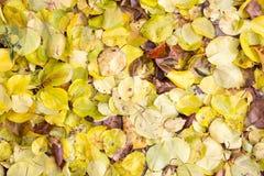 秋天叶子作为背景的 图库摄影