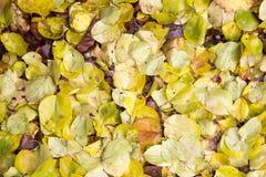 秋天叶子作为背景的 免版税库存图片