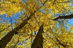 秋天叶子向上透视02 免版税库存图片