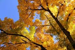 秋天叶子和天空 免版税库存照片