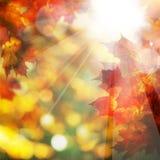秋天叶子和阳光 秋天背景特写镜头上色常春藤叶子橙红 免版税库存照片