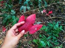 秋天叶子在人的手上 图库摄影