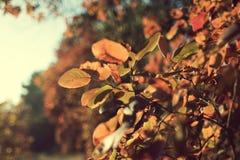 秋天叶子在俄罗斯的森林里 免版税库存图片