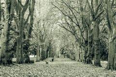 秋天叶子大道黑白摄影 免版税库存照片