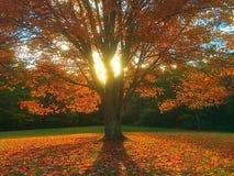秋天叶子树 免版税库存照片
