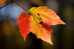 秋天叶子槭树日落 库存照片