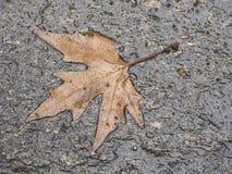 秋天叶子槭树 免版税库存图片