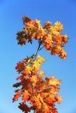 秋天叶子橡木 免版税库存照片